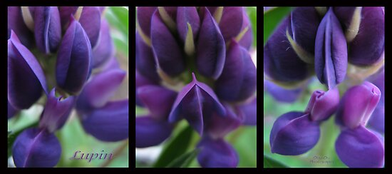 Lupin love by Olga