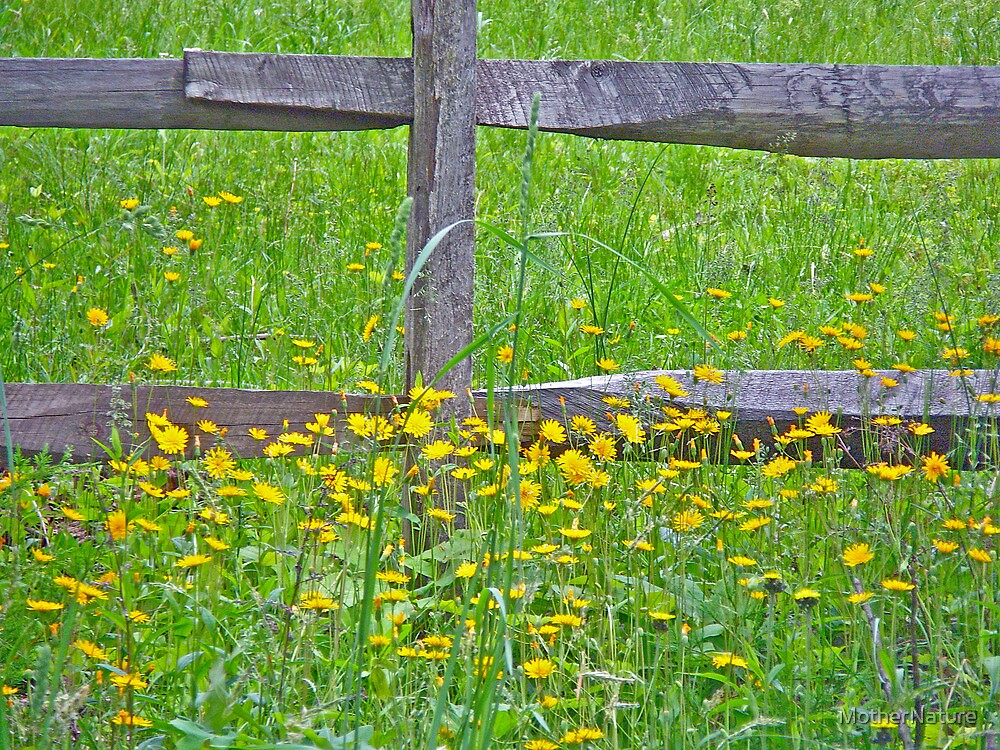 Hawkweed at Split-Rail Fence by MotherNature