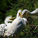 Great White Egret Chicks Feeding Frenzy by Joe Jennelle