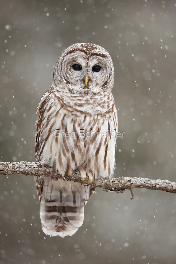 Barred Owl in heavy snowfall by Greg Schneider