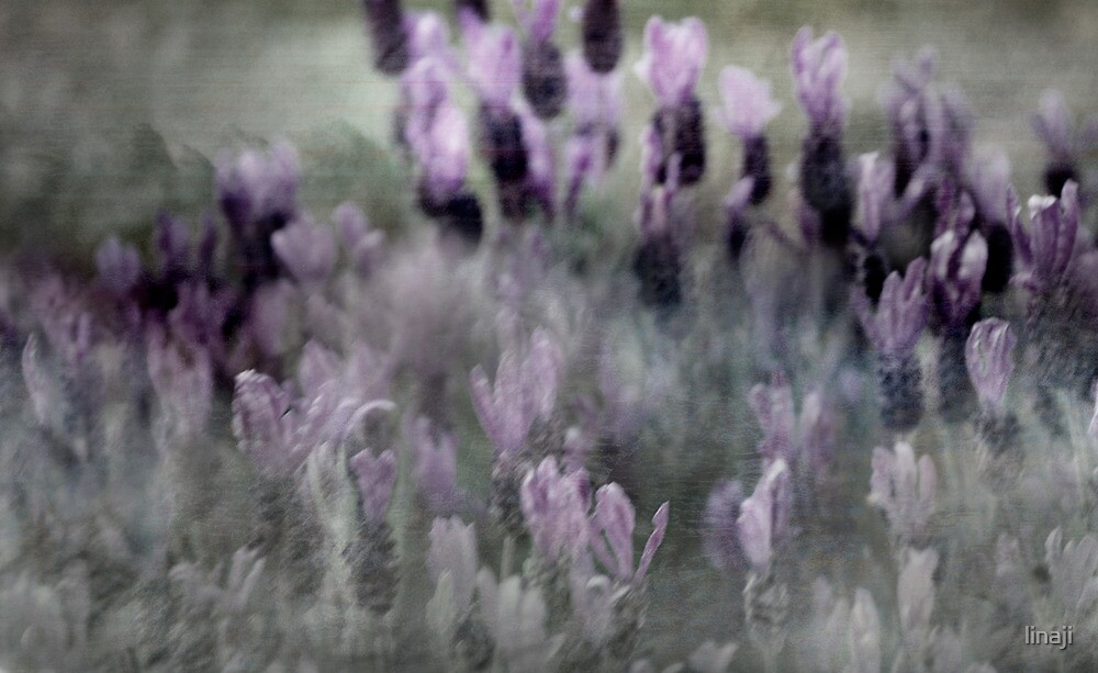 I love Lavender Dreams by linaji