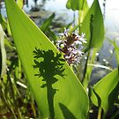 Pickerel Weed and Shadows by May Lattanzio