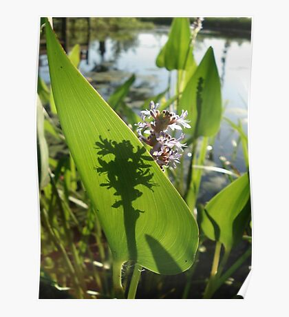 Pickerel Weed and Shadows Poster