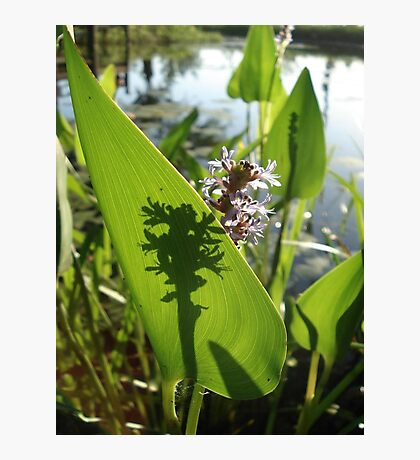 Pickerel Weed and Shadows Photographic Print