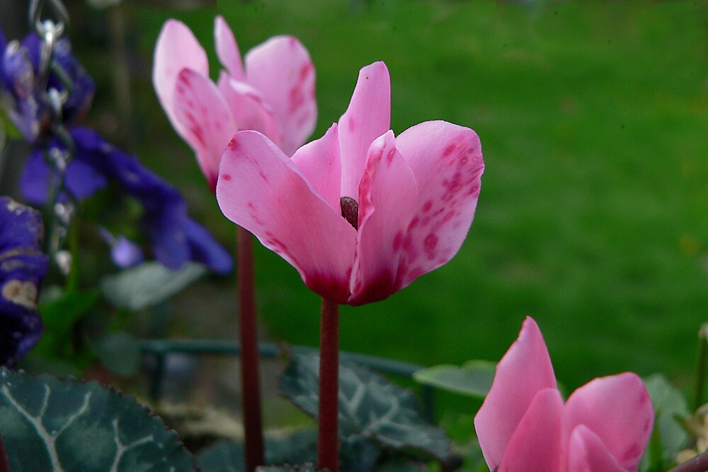 Cyclamen by Sharon Brown