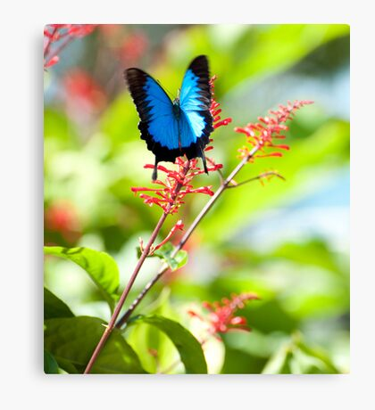 Beautiful Blue - Ulysses butterfly Canvas Print