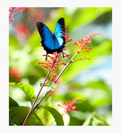 Beautiful Blue - Ulysses butterfly Photographic Print
