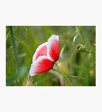 Little Poppy II Photographic Print