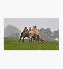Bactrian Camels  Photographic Print