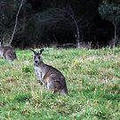 Kangaroos by Clare McClelland