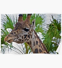 Giraffe at the Houston, TX, Zoo Poster