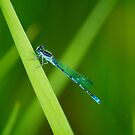 Northern Bluet by KBritt