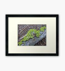 Wolf Lichen on a Branch Framed Print