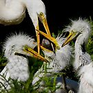 Very Young Great White Egrets Being Fed by J Jennelle