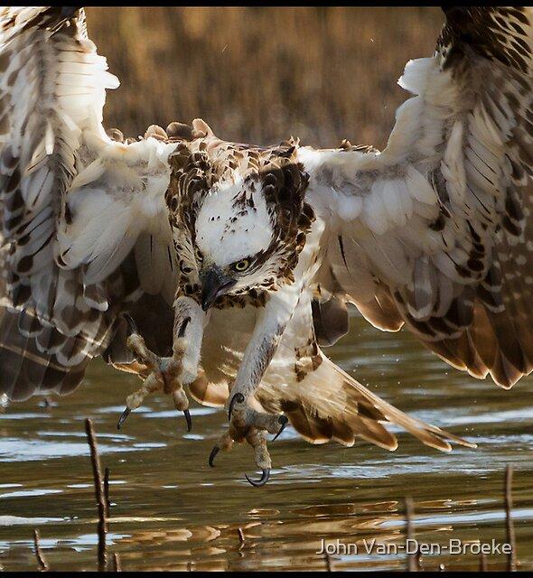 Osprey by John Van-Den-Broeke