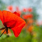 Poppies   by Karen Havenaar