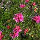 Almrausch - Alpenrose - Alpine Rose  by Lee d'Entremont
