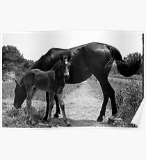 Stud Colt and Momma Poster