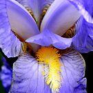 Blue Iris by Eileen O'Rourke