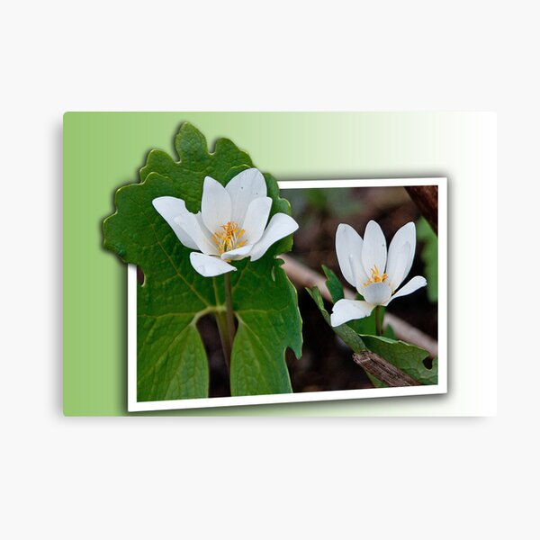 Out of Bounds Bloodroot Canvas Print