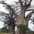 Baobab Trees by Bertspix1
