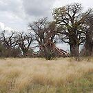 Bains' Baobabs (2) by Bertspix1