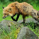 Fox on the rox by Alan Mattison