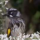 New Holland Honey Eater by David  Hibberd