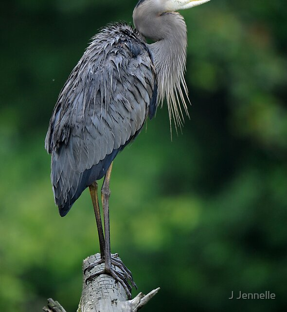 Drenched Great Blue Heron by J Jennelle