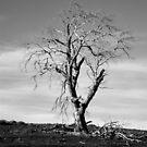 Bothwell Tree by Sarah Pidgeon