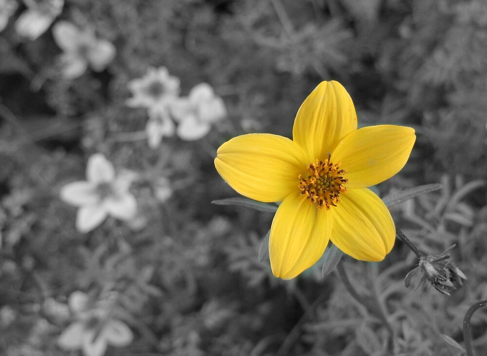 """Yellow flower Black & white background"" by MissoMrs"
