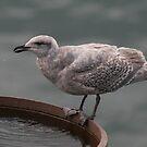 Herring gull by Denzil