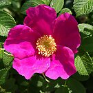 Beach Rose - Rosa Rugosa by Lee d'Entremont