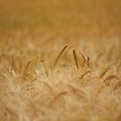 Barley Field by Nick Jermy