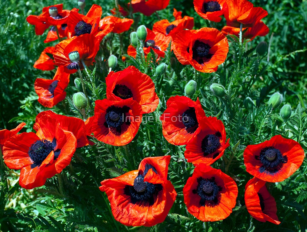 Poppy bounty by ImageItFoto