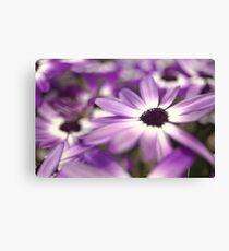 Purple senetti flowers Leinwanddruck