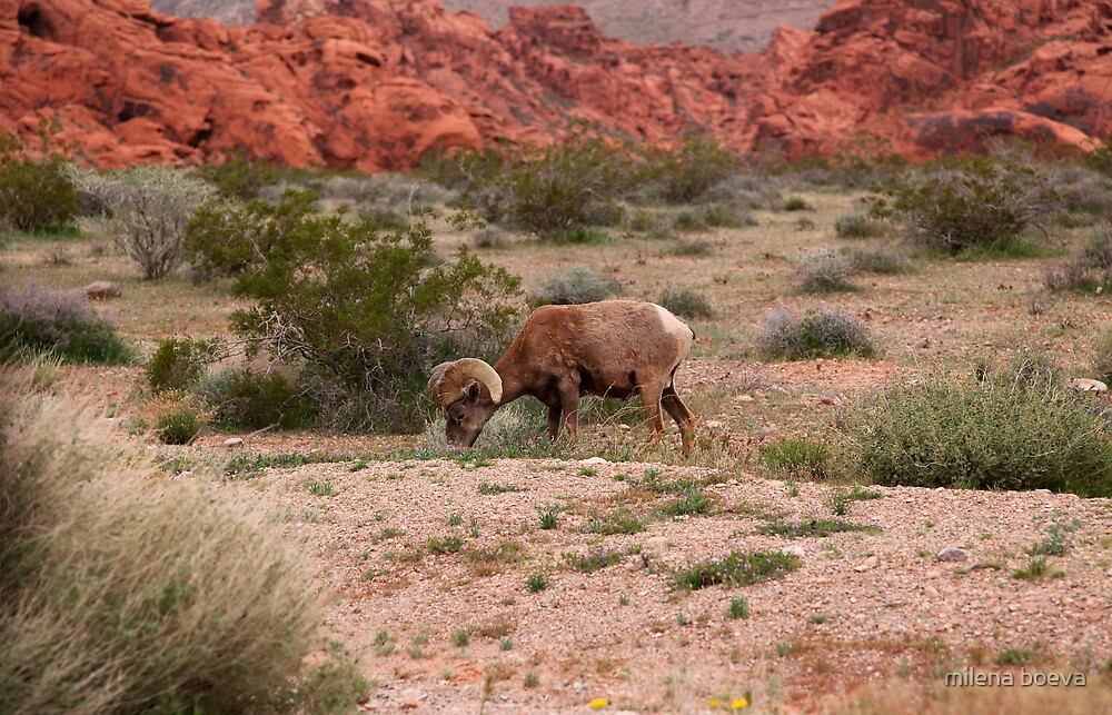 bighorn in valley of fire by milena boeva