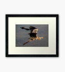 Great Blue Heron flying over a Alligator Framed Print