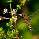 Four Spotted Skimmer Dragonfly by Michael Cummings
