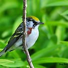 Chestnut-sided Warbler by Nancy Barrett