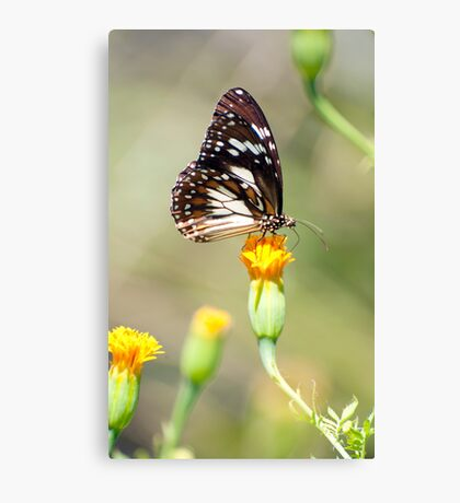 Golden Touch - butterfly feeding. Canvas Print