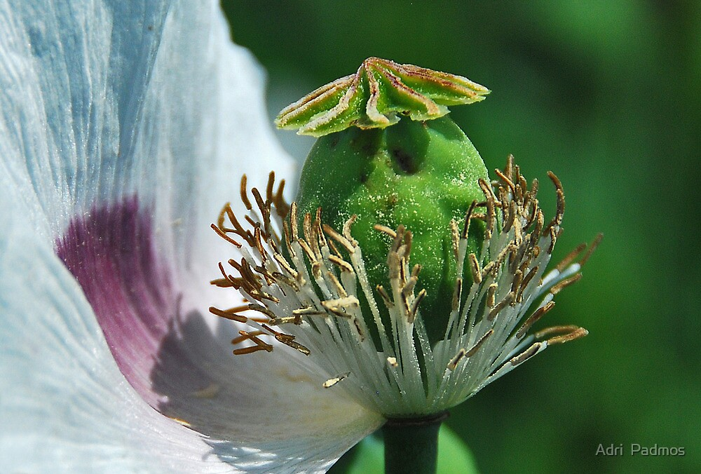 Close up of an opium poppy by Adri  Padmos
