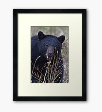 Black Bear.3 Framed Print
