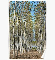 Tree Farm-Tuscany Poster