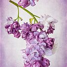 Lilac Blush by Leslie Nicole