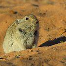 Whistling Rat by Mark Lindsay
