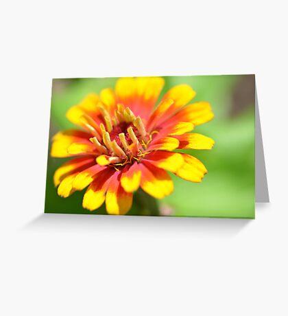 Yellow Flame Zinnia Greeting Card