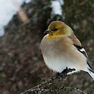 Goldfinch in Winter Plumage by ArianaMurphy