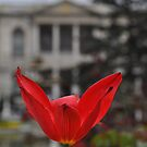 Tulip and Palace by Peter Hammer