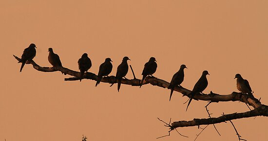 Doves in silhouette ! by Anthony Goldman
